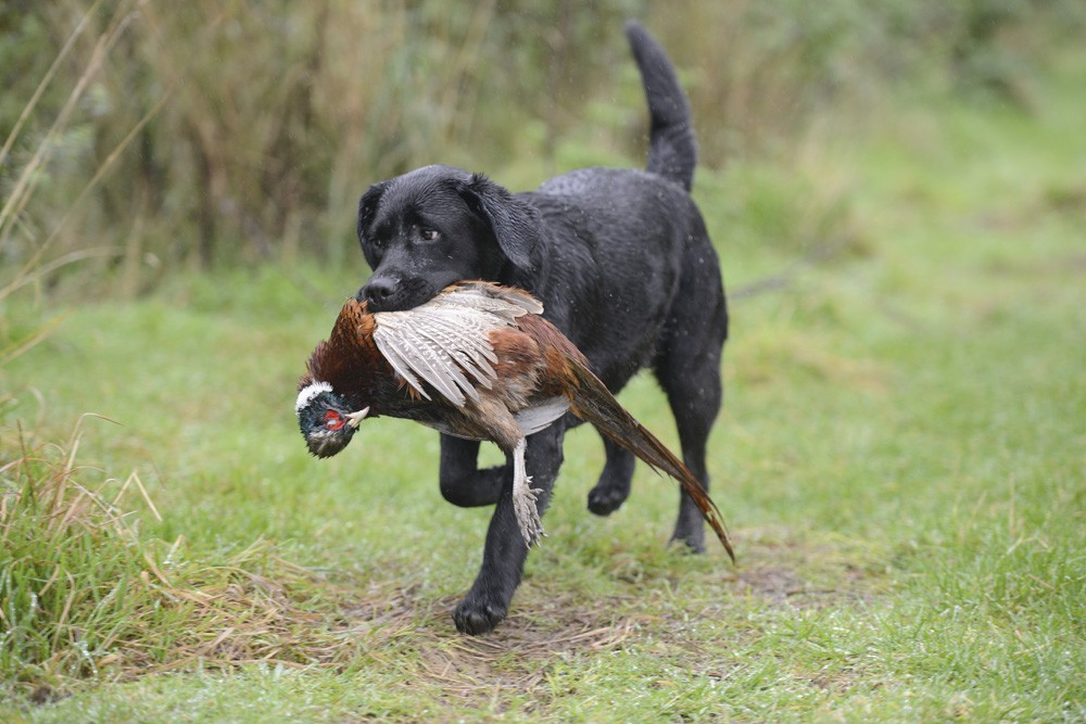Rockin E Gamebirds and Hunting Dogs trained black lab retriever photo
