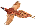 Rockin E Gamebirds and Hunting Dogs Ringneck Pheasant in flight