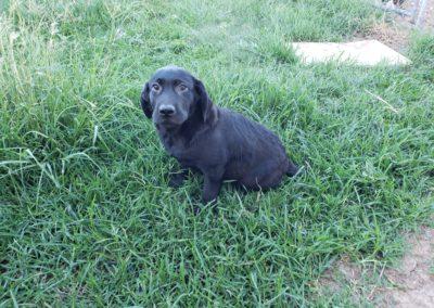 Male Labrador
